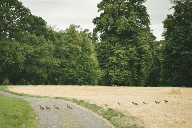 24_Ducks_crossing_road_in_line_Irish_countryside_nature