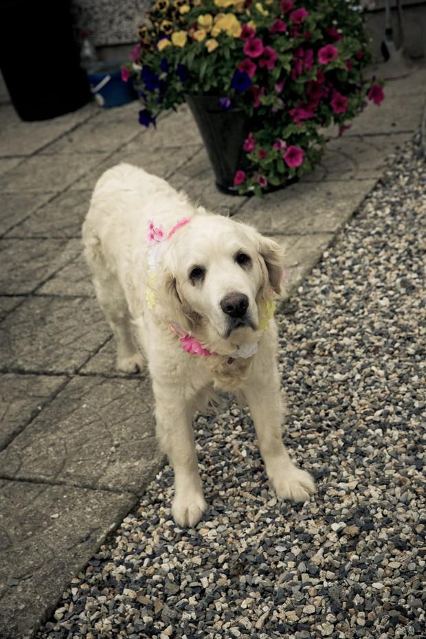 2-pets-weddings-dog-labrador-pink-collar-weddingsonline