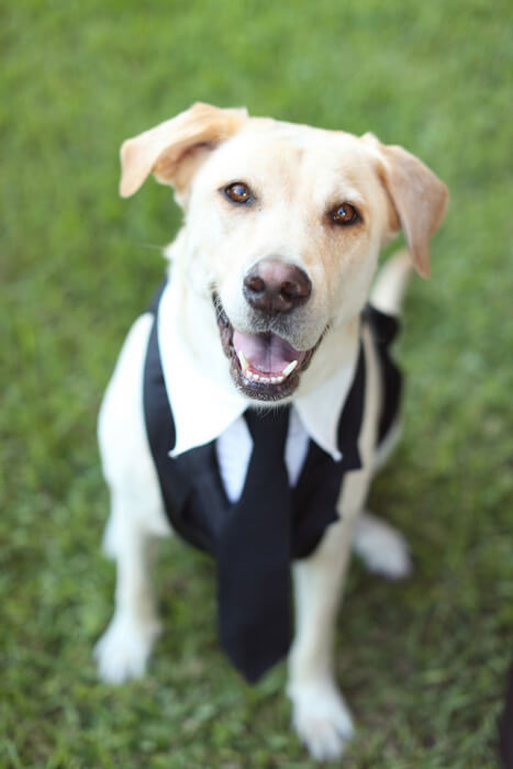 labrador-dog-wedding-suit